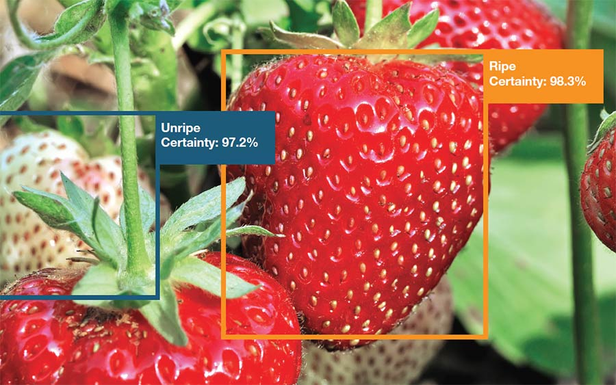 Strawberries percentage ripeness