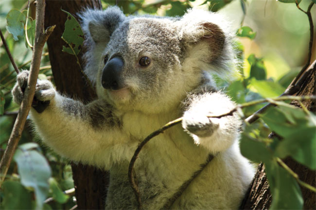 QUT researchers are better at detecting and studying koalas in their natural environments. Courtesy of Queensland University of Technology.