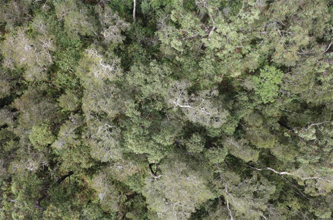 An aerial image of the dense canopy of a koala environmental habitat, obtained with an RPAS. Courtesy of Queensland University of Technology.