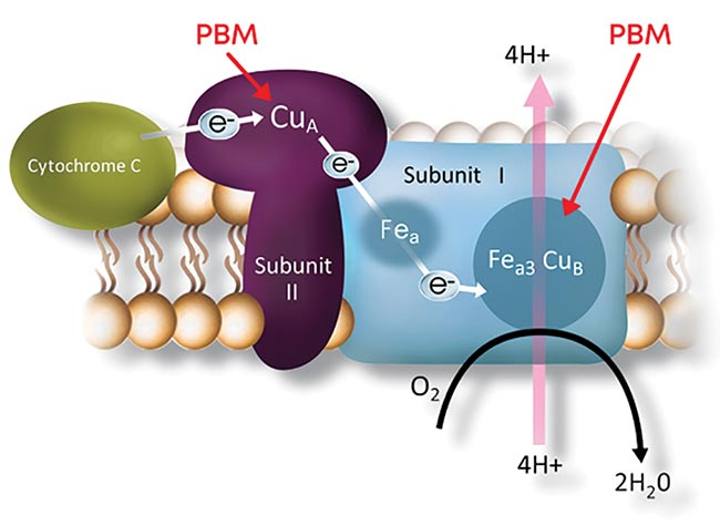 Figure 2. One major cellular mechanism behind PBM is the activation of the mitochondrial respiratory chain that begins when cytochrome c oxidase (CCO) absorbs red to NIR light. The resulting inhibition of oxidative stress stabilizes metabolic function and initiates a cascade of signaling to promote cellular survival. Courtesy of LumiThera Inc.