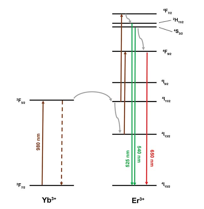 Figure 1. Upconversion mechanism in NaY0.77Yb0.20Er0.03F4. Nonradiative relaxation is represented by gray arrows, and energy transfer from Yb3+ is represented by dashed lines. Green and red emission transitions are shown. Courtesy of Edinburgh Instruments Ltd.