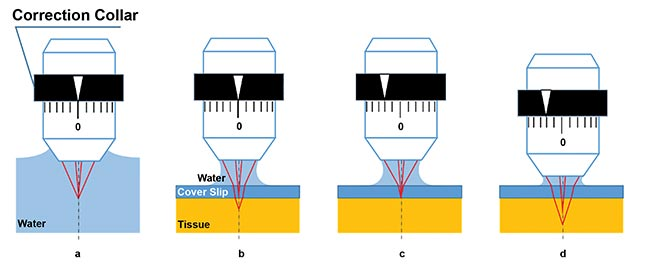 Figure 1. Schematic figures of spherical aberration caused by cover glass or tissue, and the effect of correction collar adjustment. Ideal focus happens when a water-dipping objective is immersed in water; paraxial and peripheral light rays focus to the same point. There is no spherical aberration (a). Focus with spherical aberration: When the surface of tissue is observed under a cover of glass with water immersion, refraction occurs at the boundaries between water, glass, and tissue, which causes spherical aberration (b). Spherical aberration is compensated by adjusting the correction collar (c). With the correction collar still at the previous setting, as in c, spherical aberration occurs again when the focal plane is moved to a deeper position within the sample (d). Courtesy of Hiromu Monai, Hajime Hirase, and Atsushi Miyawaki/RIKEN BSI-Olympus.