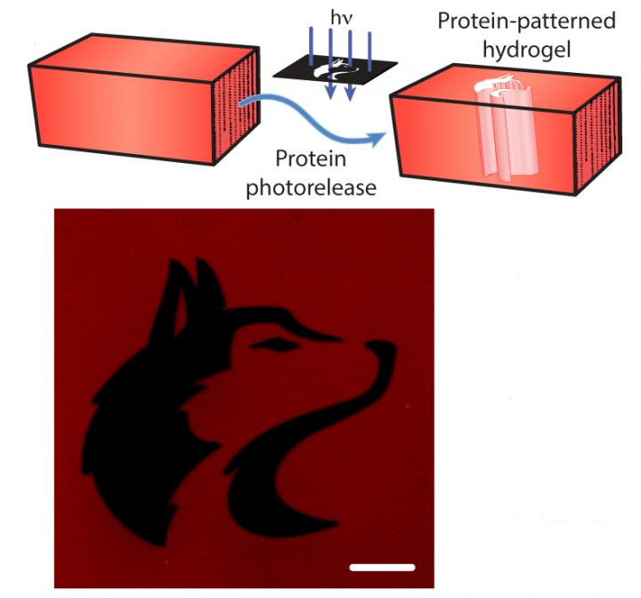 Laser beam for tethering, untethering proteins to scaffold used for tissue engineering. University of Washington.