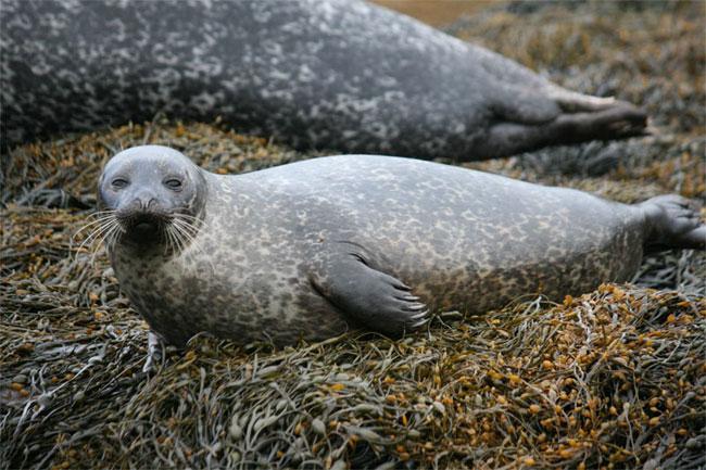 A juvenile harbor seal. Courtesy of Monica Arso Civil, Sea Mammal Research Unit, University of St. Andrews.
