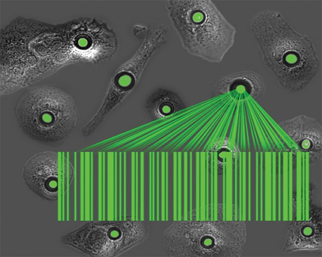 Artist's impression of a group of cells that have been turned into tiny lasers, which differ by cell and provide a barcode-type tag for noncontact optical tracking of a large number of cells over prolonged periods of time. Courtesy of Gather and Schubert/University of St Andrews.