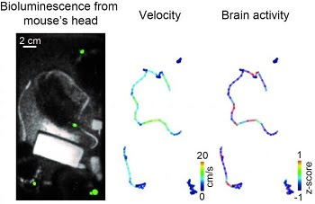 Left: In four mice, bioluminescence from the primary visual cortex (green) was observed at the same time. Center and Right: Pseudo-colored locomotion trajectories, indicating velocity (center) and brain activity (right) of four mice freely interacting each other in the same cage. Courtesy of Professor Takeharu Nagai.