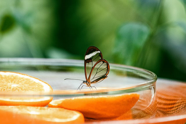 A glasswing butterfly. Courtesy of minka2507 from Pixabay.