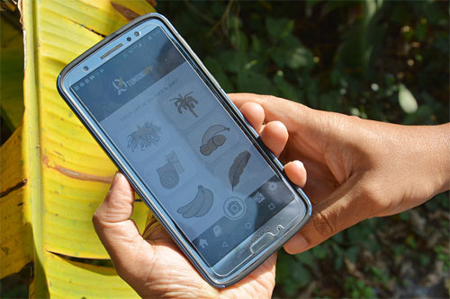 AI based smartphone app helps banana growers protect their crops. CIAT.