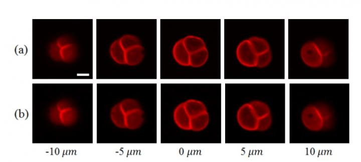 Experiment shows improvement in speed of two photon imaging. Courtesy of Shih-Chi Chen/The Chinese University of Hong Kong.