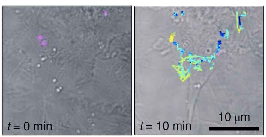 Raman Holography Has Implications for Live Cell, Tissue Interrogation