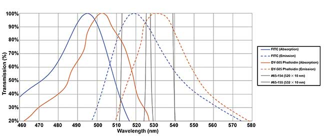 An example of optimized selection of bandpass filters. Two fluorochromes (FITC and DY-505-phalloidin) have closely overlapped spectra in both absorption and emission. But the use of narrow (10 nm) bandpass filters centered at the emission peaks maximizes the signal differential and hence the overall signal-to-noise ratio. Courtesy of Edmund Optics.