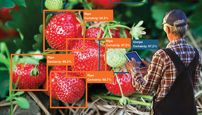 A neural net vision system inspects the ripeness of strawberries. Courtesy of Cyth Systems Inc.