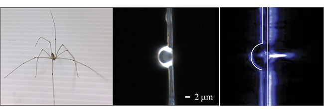 A daddy longlegs on top of dragline silk of the type used in the study (left), a dome lens on the fiber (middle), and an example of a photonic nanojet generated by the lens (right). Courtesy of Cheng-Yang Liu.