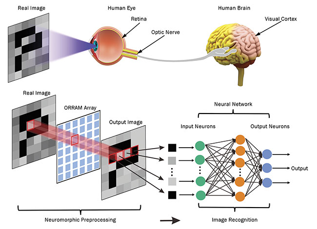 Yang Chai of Hong Kong Polytechnic University developed an artificial neuromorphic visual system inspired by the human visual system. The intensity and duration of incoming device light modulates the device's response, enabling it to preprocess images for an artificial neural network — just as the retina does for the brain's neural network. ORRAM: optoelectronic resistive random-access memory. Courtesy of Hong Kong Polytechnic University.