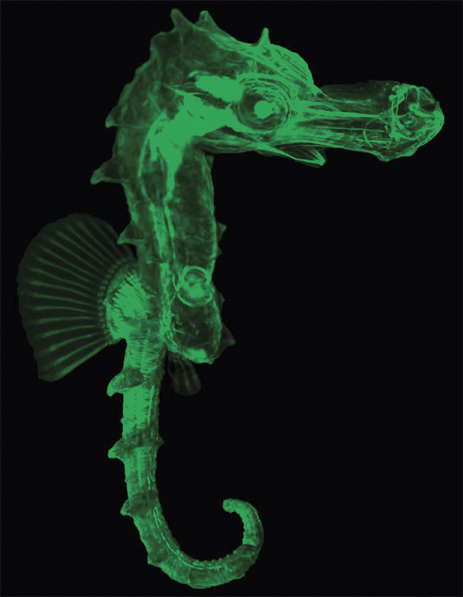 An autofluorescence image of a seahorse, imaged by light sheet microscopy. Courtesy of Uwe Schröer/LaVision BioTec GmbH, a Miltenyi Biotec Company.